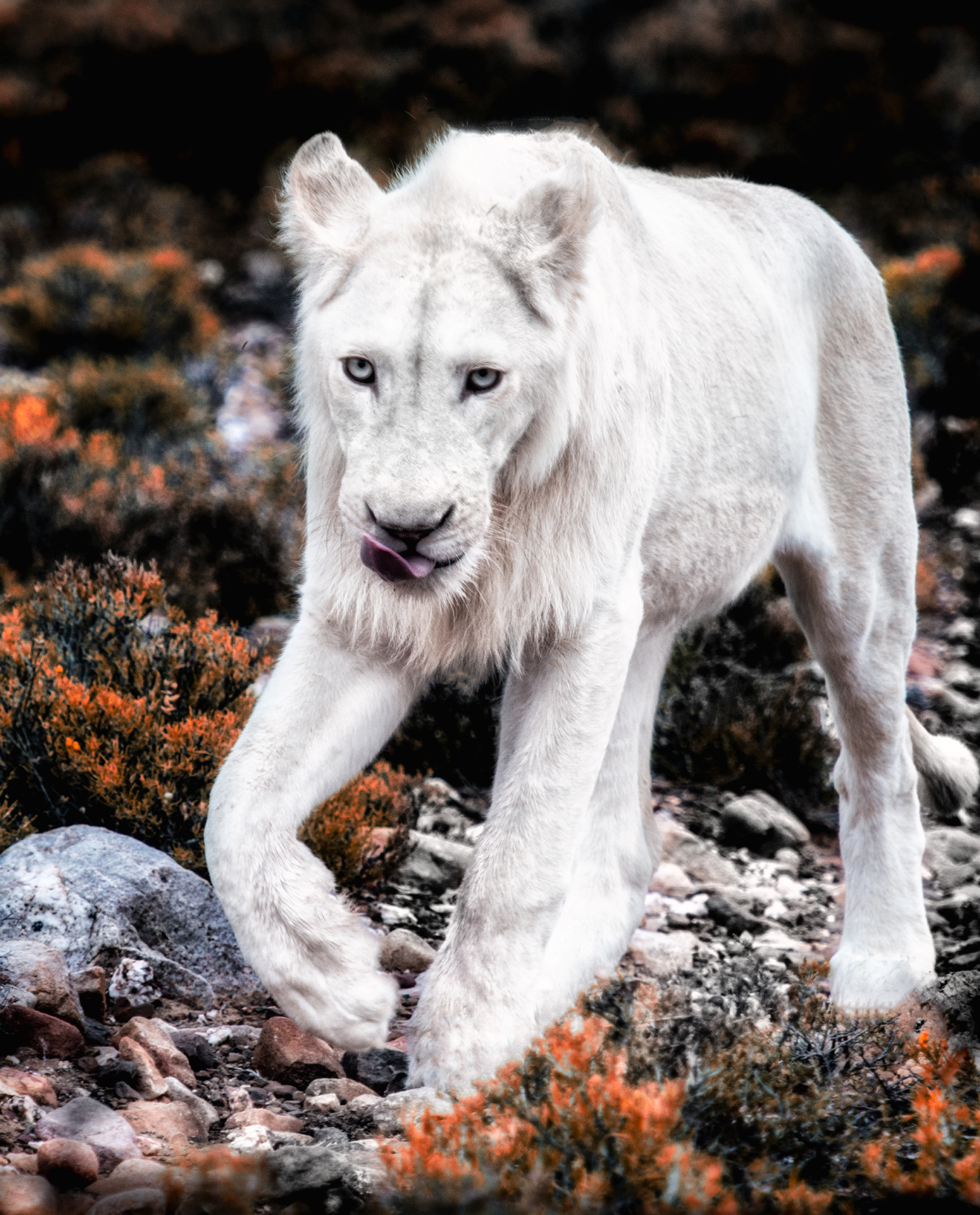 White Lions 2
