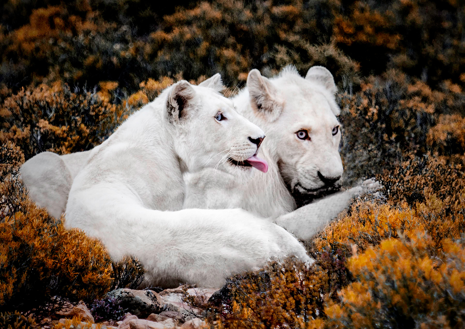 White Lions 3