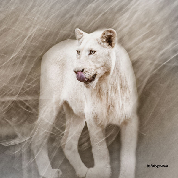 White Lion - South Africa