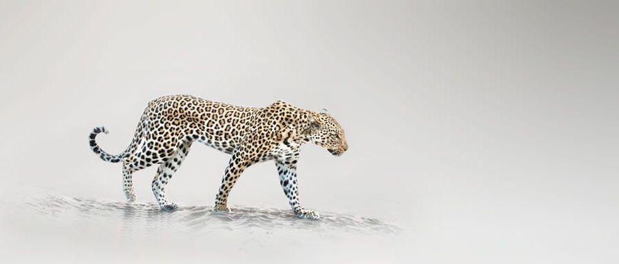 walking-leopard.jpg