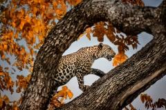 01 Leopard