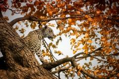 03 Leopard