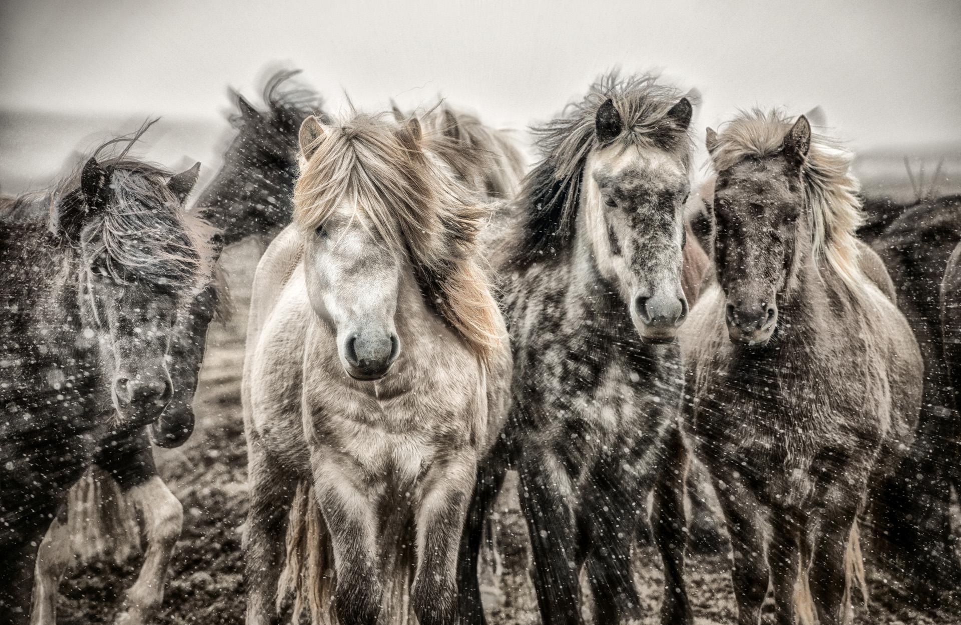 04 Icelandic Horses