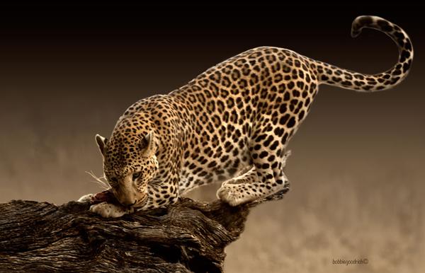 Africat - Leopard