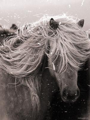 Icelandic_White