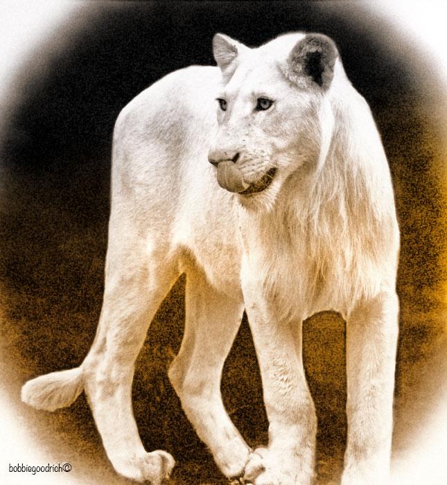 LION-SANBONE.jpg