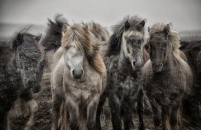 """Icelandic Horse Roundup"" - Bobbie Goodrich © 2014"