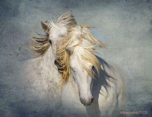 CAMARGuE-HORSES-.jpg