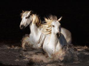 c25-CAMARGUE-horses--36x27.jpg